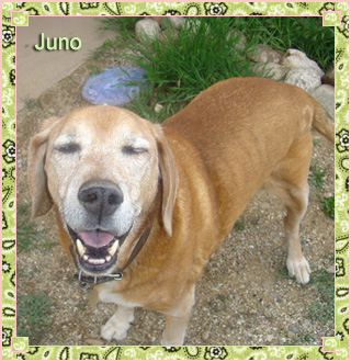 Juno is Jean's red hound-dog mix. He was adopted from the Santa Fe Animal Shelter and has enjoyed many walks with Jean, exploring the city from the Santa Fe River to the downtown Plaza. He's a trusted, loyal companion, winning the hearts of all who meet him.